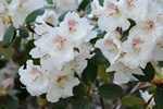 Rhododendron (Gartendirector Riger)